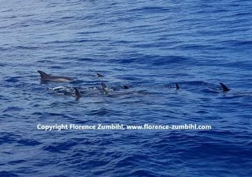 Delfingruppe - Atlantischer Ozean vor La Gomera
