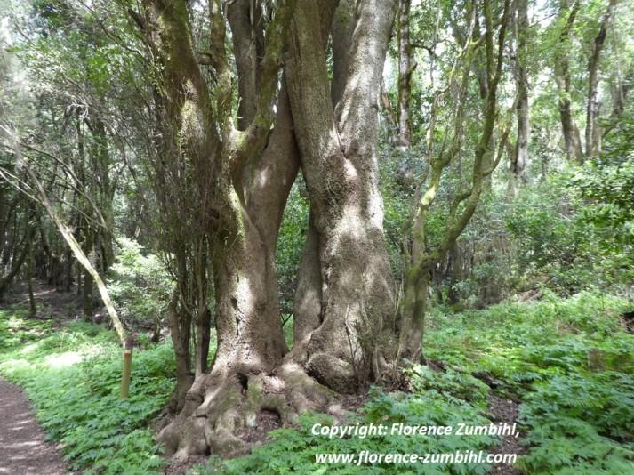 Garajonay, Nationalpark, La Gomera