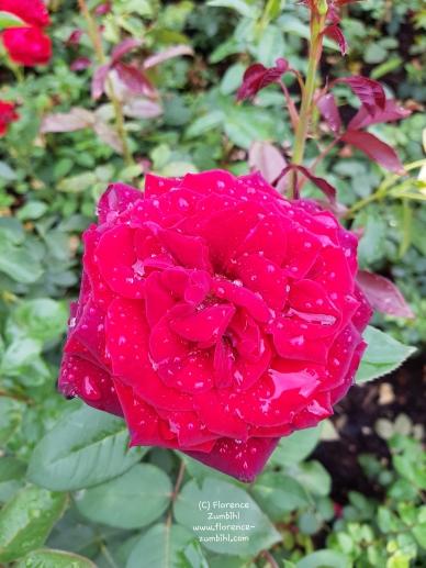Rose nach Regen, Copyright Florence Zumbihl